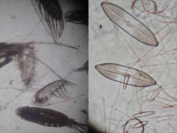 動物プランクトンと植物プランクトン.JPG